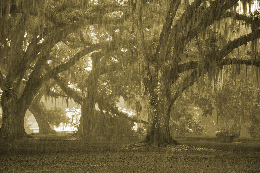 Oak_trees_in_rain_3904