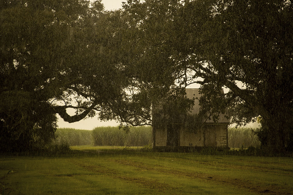 Oak_trees_rain_sugarcane_fields_3961